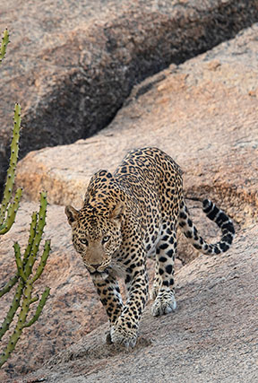 jawai the land of leopards