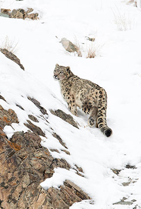 snow leopard the himalayan quest batch